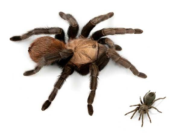 johnny-cash-tarantula-1